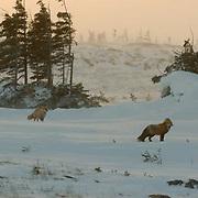 Red Fox (Vulpus fulva) Near Churchill, Manitoba, Canada, Winter.