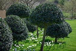 Tulipa 'Diamond Jubilee' growing in grass under standard holly trees in John Massey's garden at Ashwood Nurseries. Ilex aquifolium 'Siberia'