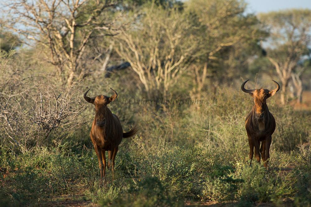 Golden wildebeest<br /> Exotic Game Breeders / Eden Farm<br /> Limpopo Province<br /> South Africa