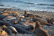 northern elephant seals, Mirounga angustirostris, mostly young males crowd the beach as they undergo their annual molt or moult, Piedras Blancas, near San Simeon, California, United States ( Eastern Pacific Ocean ); a flock of Heermann's gulls lines the water's edge