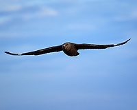 Great Skua (Stercorarius skua). Image taken with a Nikon D4 camera and 80-400 mm VR lens.