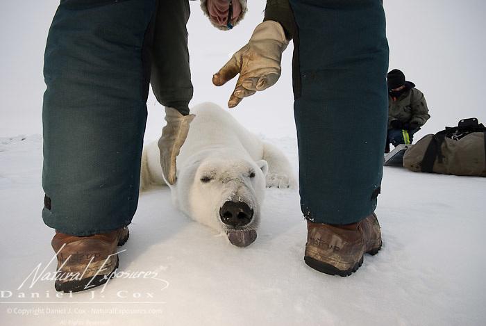 Dr. Steve Amstrup, USGS biologist,  and his assitant Kristin Simac, prepare a large male polar bear (Ursus maritimus) for data collection on the ice pack of the Beaufort Sea. Kaktovik, Alaska.