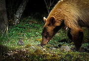 A brown phase black bear (Ursus americanus) in a remote canyon of the Nature Conservancy's Zumwalt Prairie Preserve. This bear carries the seeds of houndstongue (Cynoglossum officinale) a non-native invasive weed on its neck and shoulder, thus illustrating the diffculty of weed control once non-native plants are introduced. Photographed at night with a motion sensing camera. Summer 2002