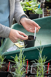 Sowing Courgette 'F1 Defender' into individual pots