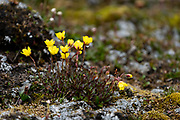 Ranunculus nivalis, the snow buttercup, is a species of plant in the family Ranunculaceae. It displays prevalent heliotropism, thus gaining an advantage in its harsh, cold environment through capturing more solar energy by following the sun. Photographed in Spitsbergen, Svalbard, Norway