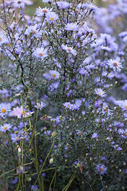 Aster, The White Sunk Garden, Kiftsgate Court Gardens