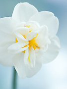 Narcissus 'Cheerfulness' - double daffodil