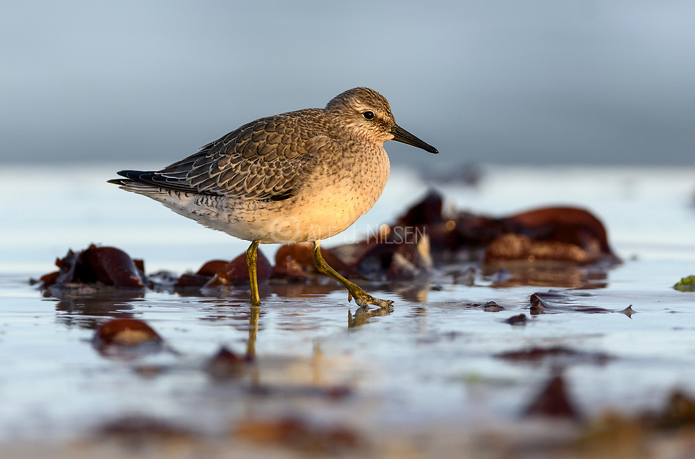 Red Knot (Calidris canutus) at Revtangen, south-western Norway in September.