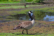 Canadian Geese, Madrona Marsh Wetlands is a vernal freshwater marsh and is approximately 43 acres. torrance, California, USA