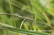06330-00105 Spaghnum Sprite (Nehalennia gracilis) female in fen Dent Co. MO