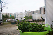 Hobs growing at a mobile city garden in Stratford, getting ready to be deployed in gardens across London 27th May 2016 East London, United Kingdom.  Energy Gardens is a pan-London community garden project where reclaimed land alongside over ground train stations and track are cultivated by local community groups. Up 50 gardens are projected with the rail network being the connection grid. The project is a collaboration between Repowering London, local community groups and station managers working for TFL.