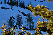 Sparse stands of alpine larch (Larix lyallii) on snow covered slopes below Golden Horn, Okanogan National Forest, Washington.