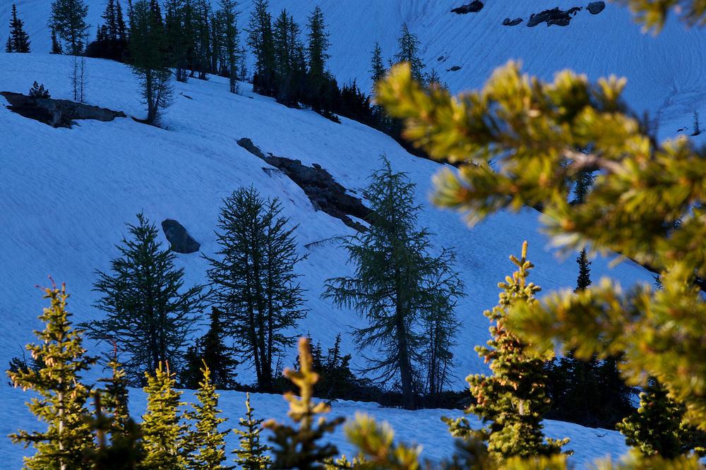 Sparse stands of alpine larch (Larix lyallii) on snow covered slopes below Golden Horn, Okanogan National Forest, Washington.