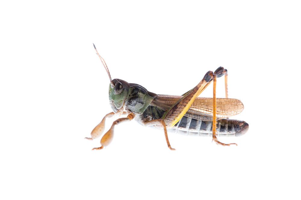 IFTE-NB-007768; Niall Benvie; Gomphocerippus sibiricus; grasshopper; Europe; Austria; Tirol; Fliesser Sonnenhänge; insect arthropod invertebrate; horizontal; high key; brown white; controlled; male; adult; one; moorland; 2008; July; summer; strobe backlight; Wild Wonders of Europe Naturpark Kaunergrat