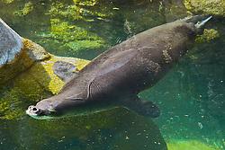 Hawaiian monk seal, Monachus schauinslandi, breathing, critically endagered, endemic to Hawaii, Pacific Ocean (c)