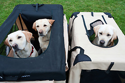 © Licensed to London News Pictures. 19/08/2018. Llanelwedd, Powys, UK. A family of Retriever Labradors pop their heads out from their kennels - (left to right Daisy puppy bitch, Millie mum bitch, Charlie dad dog) on the last day of The Welsh Kennel Club Dog Show, held at the Royal Welsh Showground, Llanelwedd in Powys, Wales, UK. Photo credit: Graham M. Lawrence/LNP