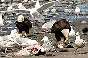Adult bald eagles eat fish scraps surrounded by gulls on the beach at Anchor Point, Alaska.