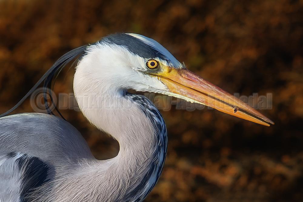 Closeup of Grey Heron with a fish in it's beek | Nærbilde av en Gråhegre med en fisk i nebbet.