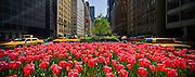 New York City: panoramic photo of the tulips on Park Aveune with cabs streaking by.