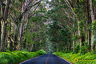 Tree tunnel of Eucalyptus trees line Maliuhi Road near Koloa in Kauai, Hawaii, USA