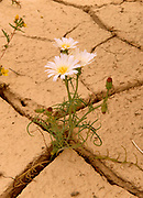 Desert Chickory in Wash, Panamint Mountains, Death Valley National Park, California