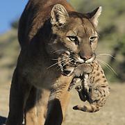 Mountain Lion female carrying a cub. Montana, Captive Animal