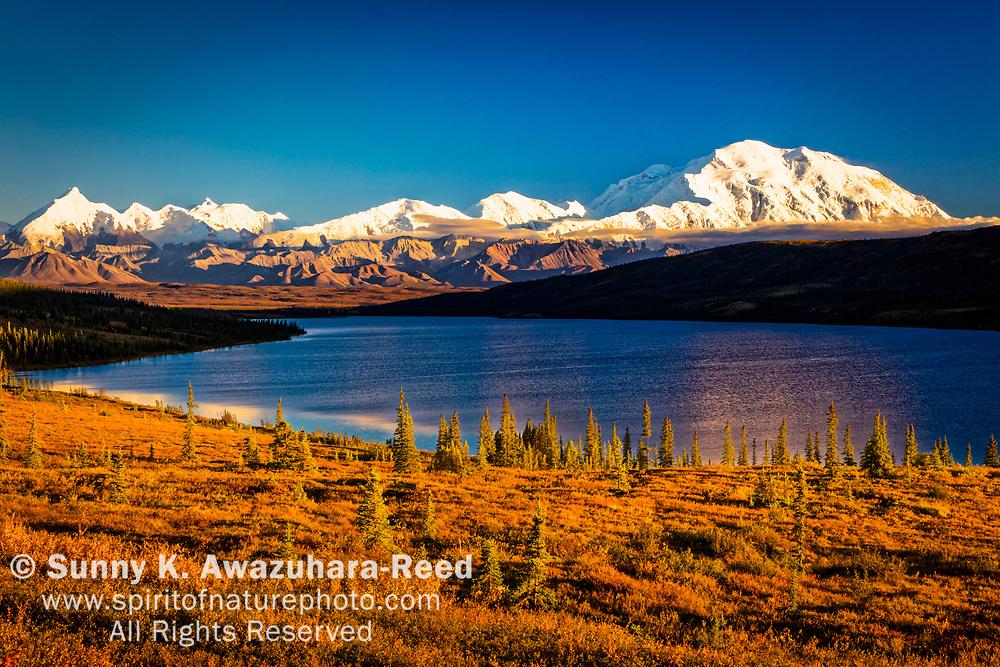 Mt. Denali (McKinley) above Wonder Lake and golden fall color tundra under blue sky, Denali National Park & Preserve, Interior Alaska, Autumn.