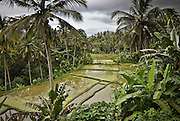 Storm is lurking above rice paddies and lush jungles on terraces north of Ubud.