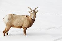 Sheep In The Snow in RMNP