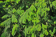 Cedar foliage, Souteast of Hope, British Columbia, Canada