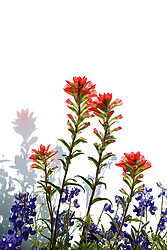 Indian paintbrush and Texas bluebonnet against white background, Meadow View Nature Area, Ennis, Texas. USA.