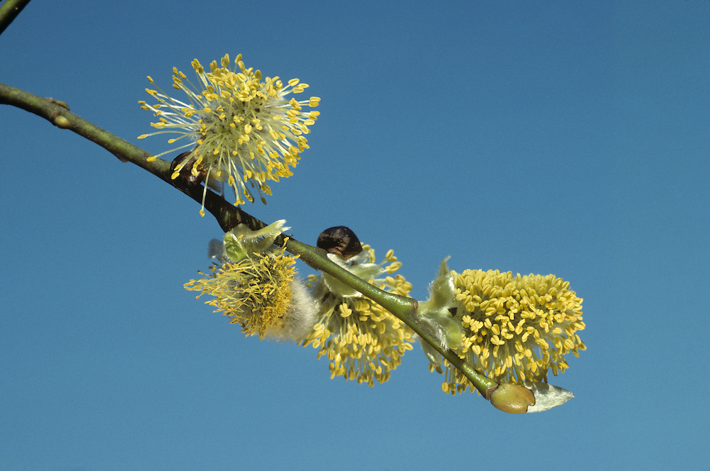 Goat Willow (Sallow) - Salix caprea (Salicaceae). HEIGHT to 12m. Depending on its situation this may be a multi-branched, dense, shrubby tree, or a taller tree with a straight, ridged stem and sparsely domed crown. SHOOTS Thick, stiff twigs are hairy at first, but become smoother and yellowish-brown with age. If the twigs have the bark peeled off they are smooth. (Compare with Grey Willow.) LEAVES Large, up to 12cm long and oval, with a short twisted point at the tip. The upper surface is dull green and slightly hairy, the lower surface is noticeably grey and woolly. The leaf margins have small, irregular teeth, and the short petiole sometimes has 2 ear-like sinuous stipules at its base. REPRODUCTIVE PARTS Male and female catkins, on separate trees, appear before the leaves, often very early in the spring in sheltered places. Measuring up to 2.5cm long, they are ovoid and covered with greyish silky hairs before opening; at this time, Goat Willow is often called 'Pussy Willow' because the silky-grey buds bear a fanciful resemblance to cats' paws. When they open, the male catkins become bright yellow. Female catkins are greener and produce numerous silky-haired seeds. STATUS AND DISTRIBUTION A widespread and common native species in Britain and Ireland, occurring in woods, hedgerows and scrub, and often in drier places than other similar species.Goat Willow (Sallow) Salix caprea (Salicaceae) HEIGHT to 12m. Depending on its situation this may be a multi-branched, dense, shrubby tree, or a taller tree with a straight, ridged stem and sparsely domed crown. SHOOTS Thick, stiff twigs are hairy at first, but become smoother and yellowish-brown with age. If the twigs have the bark peeled off they are smooth. (Compare with Grey Willow.) LEAVES Large, up to 12cm long and oval, with a short twisted point at the tip. The upper surface is dull green and slightly hairy, the lower surface is noticeably grey and woolly. The leaf margins have small, irregular teeth, and the sho