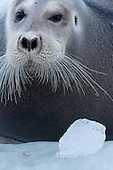 Bearded seal, Erignathus barbatus, Spitsbergen, Svalbard, Norway