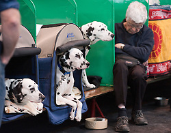 © London News Pictures. 08/03/2012.  Trevor Pierson asleep waiting for his dalmation dogs to go on show L to R Candy, Cory and Katy. Day one of Crufts at the Birmingham NEC Arena on March 8, 2012 in Birmingham.  Crufts, which is the largest annual dog show in the world, hosts over 20,000 dogs and owners who compete in a variety of categories. Photo credit : Ben Cawthra/LNP