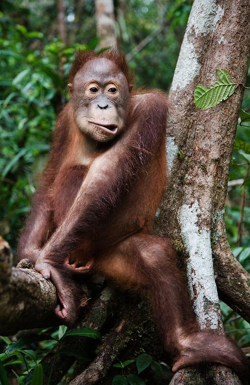 A juvenile orangutan makes a face as if in deep thought (Pongo pygmaeus) , Borneo, Indonesia