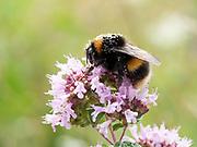 Buff-tailed bumblebee (Bombus terrestris), on Wild thyme (Thymus serphyllum) flower, Kent UK, with pollen on its back