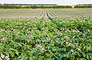 Potato crop grown for supermarkets, near Holkham, United Kingdom