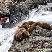 Three young Alaskan brown bear cubs sleep on a rock while their mother fishes in the waterfall below. A sockeye salmon sneaks by on its journey upstream while they are sleeping.