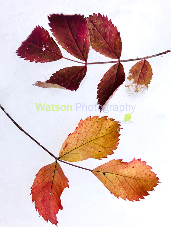 Two Lost Autumn Leaves in Winter