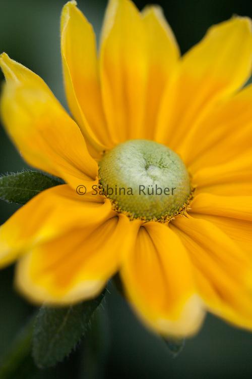 Rudbeckia hirta 'Gloria' - black-eyed-Susan