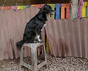 A rescued dog sits on a stool at the Soy Callejerito shelter in Cuzco, Peru.