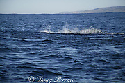 common dolphins ( Delphinus capensis ) charge through bait ball of sardines or pilchards, Sardinops sagax, feeding during annual Sardine Run off the Wild Coast ( Transkei ) of South Africa at Mboyti ( Indian Ocean )
