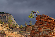 Ancient bonsai pine tree hangs onto a rock during a clearing storm in Zion National Park, Utah