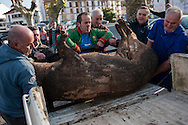 Some men load up a dead pig into a pick up in traditional way pig slaughtering.  Doneztebe (Basque Country). December 08. 2016. The slaughter traditionally takes place in the autum and early winter and the work often is done in the open. (Gari Garaialde / Bostok Photo)