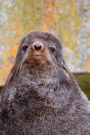 Northern Fur Seal (Callorhinus ursinus)  Male portrait. St. Paul, Pribilof Islands. Alaska.