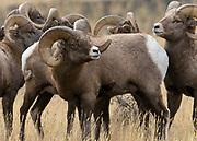 Bighorn Sheep near Gardinder, Montana.