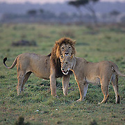 African Lion, (Panthera leo) Mature male and female. Kenya. Africa. .