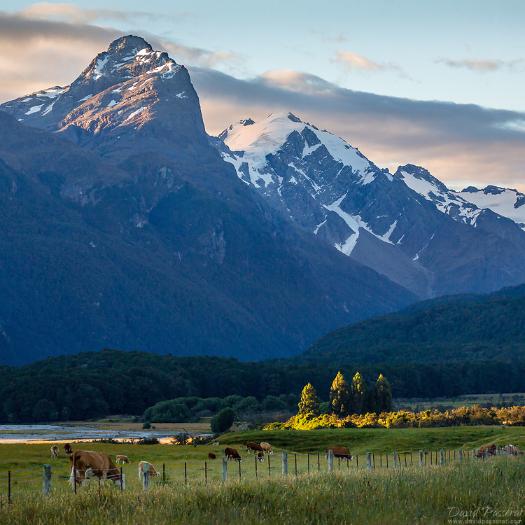 Mountains and a field of cows in New Zealand