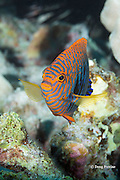 Potter's angelfish, Centropyge potteri, male, endemic species, Red Hill, South Kona, Hawaii, USA ( Central Pacific Ocean )