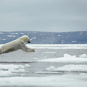 Polar bear jumping on ice flow in the Northwest Territories, Canada.